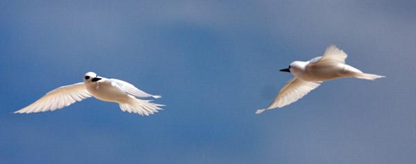 Couple de sternes blanches en vol