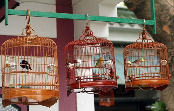 Oiseaux chanteurs dans leur cage