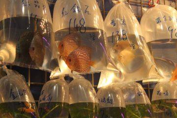poissons exotiques dans sachets plastiques