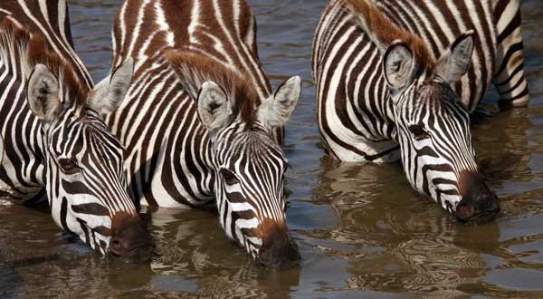 zebres boire