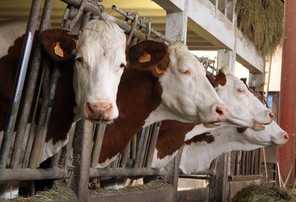 Vaches de la ferme Marchal dans les Vosges