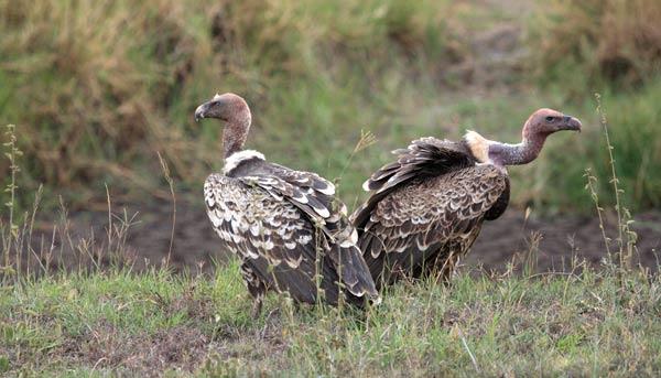 Vautours à l'affût dans le parc Kruger