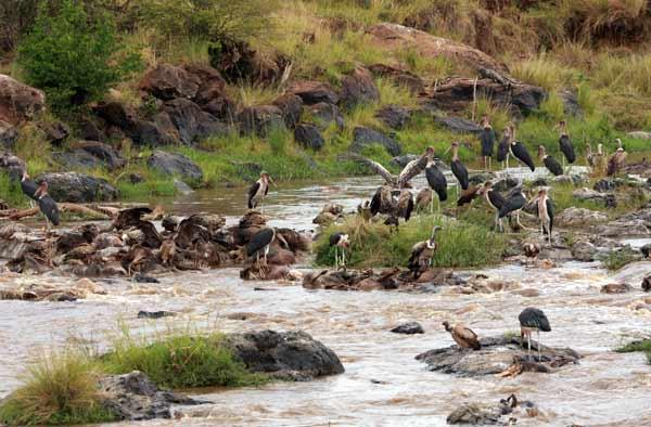 Vautours et marabouts mangeant les cadavres de gnous lors de la grande migration