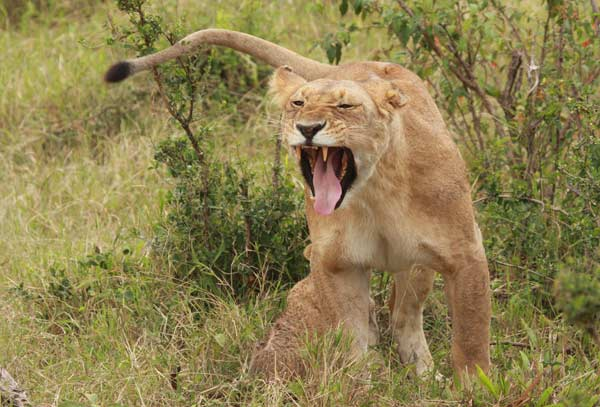 Lionne safari Kenya