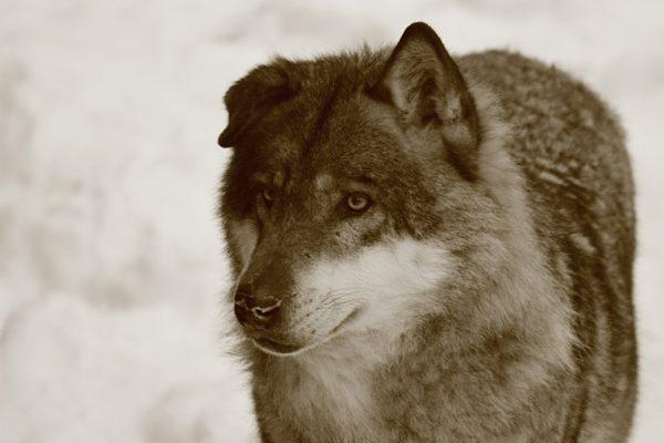 portrait loup