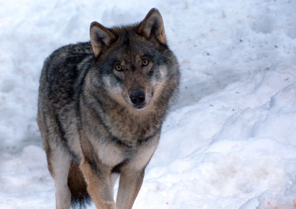 parc alpha mercantour loup
