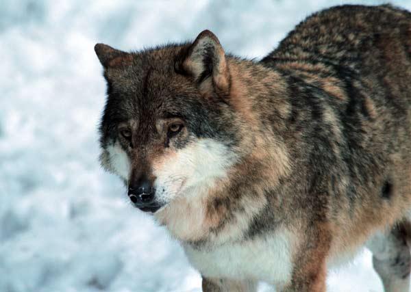 loup meute erps parc alpha