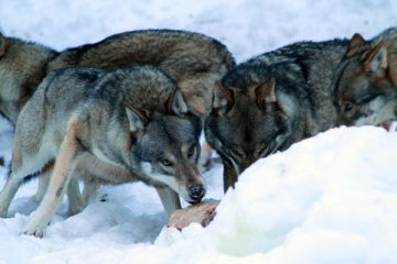 Loups de la meute des Erps au parc Alpha