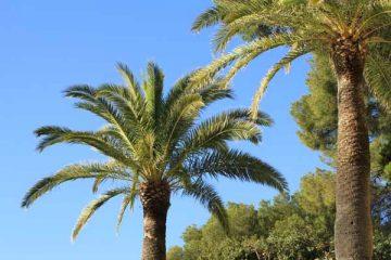 palmiers cote azur