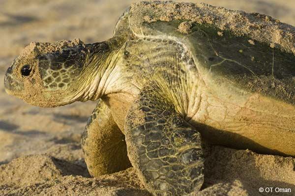 Portrait d'une tortue de mer à Oman