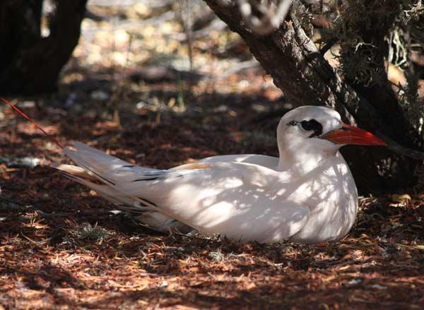 nidification paille queue rouge nosy ve