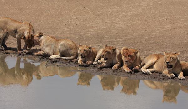 lionnes agence voyages safari
