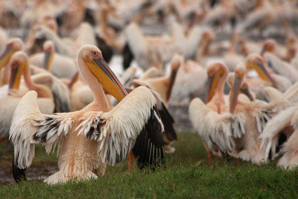 pelicans kenya agence voyages safari