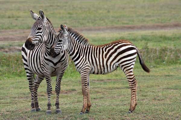 zebres agence voyages safari