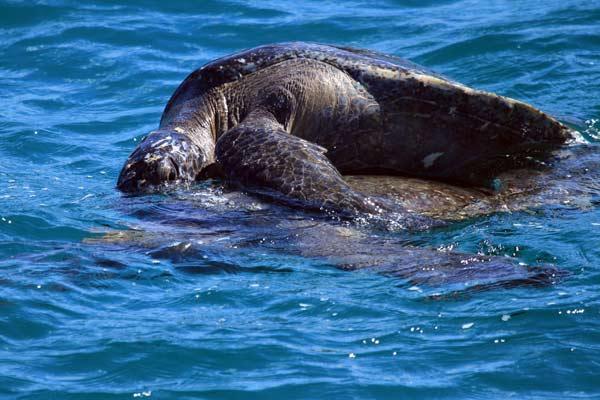 tortue marine galapagos