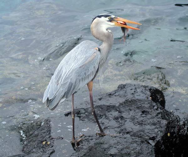 Héron sur Bartolomé aux Galapagos