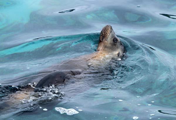 Lion de mer sur Bartolomé aux galapagos