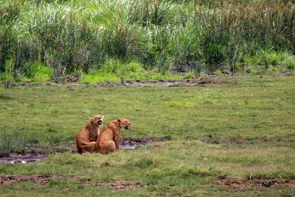 Lions dans le Ngorongoro