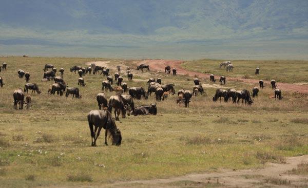 Troupeau d'herbivores dans le Ngorongoro