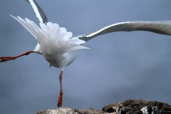 Envol d'oiseau marin à San Cristobal aux Galapagos
