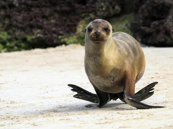 Lion de mer courant aux Galapagos
