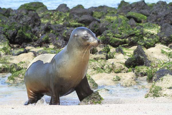 Lion de mer sortant de la mer aux Galapagos