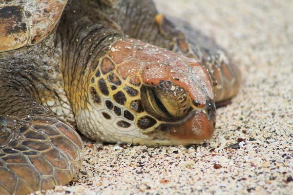 Portrait de tortue de mer aux Galapagos