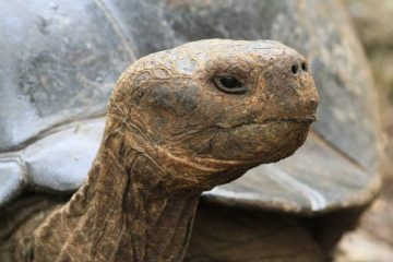 Portrait de tortue terrestre des Galapagos