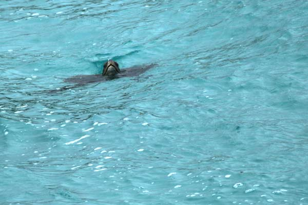 Tortue de mer vue d'en haut aux Galapagos