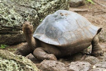 tortue terrestre galapagos