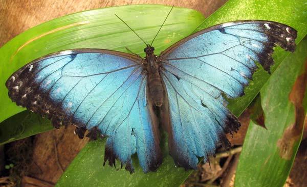 Papillon dans une mariposa à Mindo en Equateur