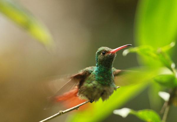 Vol de colibri à Mindo en Equateur