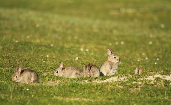Lapins, île de Mull