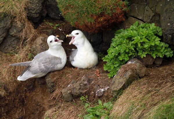 Ile de Staffa, oiseaux nichant
