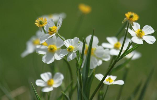 parc-mercantour-fleurs