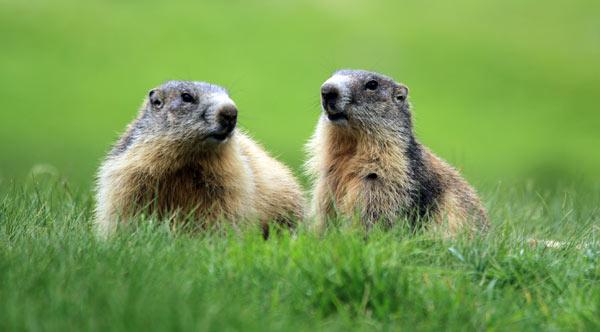 parc mercantour marmottes