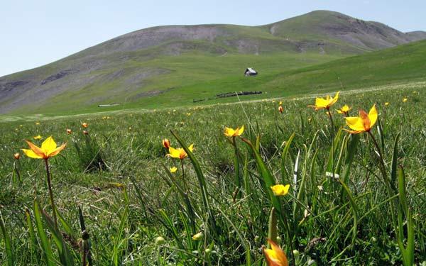 parc mercantour tulipes sauvages