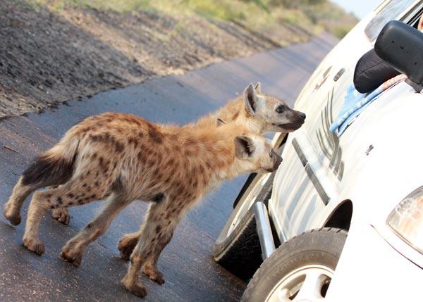 game drive safari en Afrique du Sud
