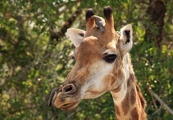 girafe safari afrique