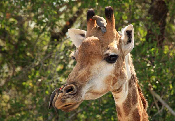 girafe safari en afrique