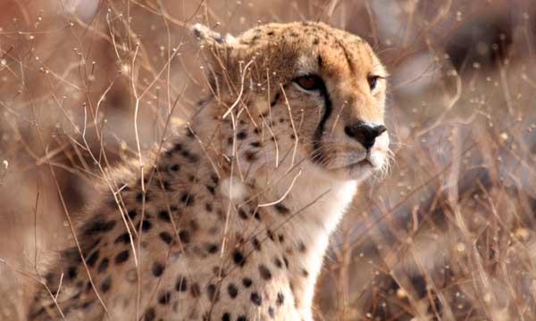 guépard safari en afrique