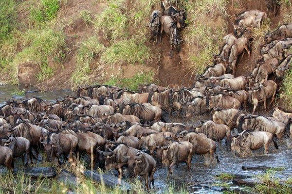 safari en Afrique : migration des gnous