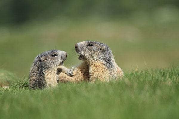 marmottes printemps mercantour