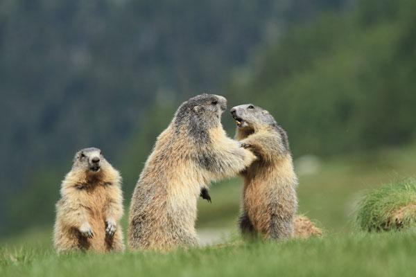 marmottes jeu