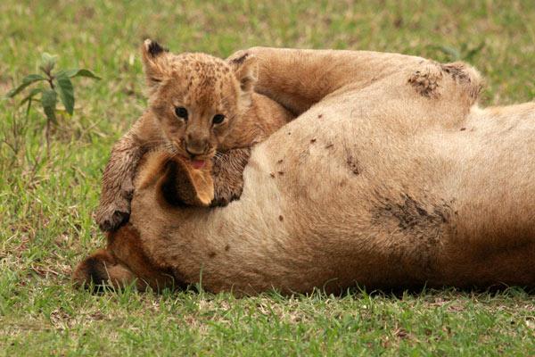 safari kenya lionceau