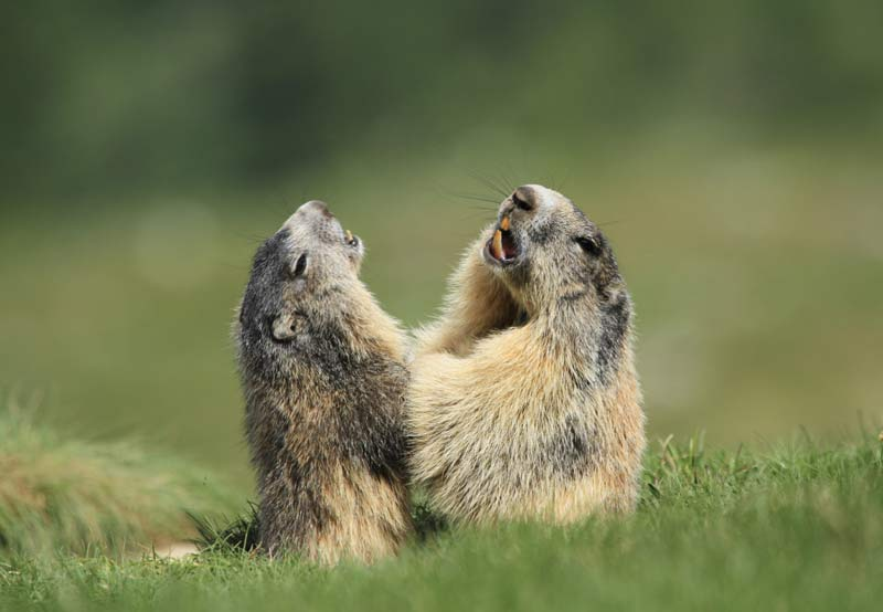 marmottes lacs de prals