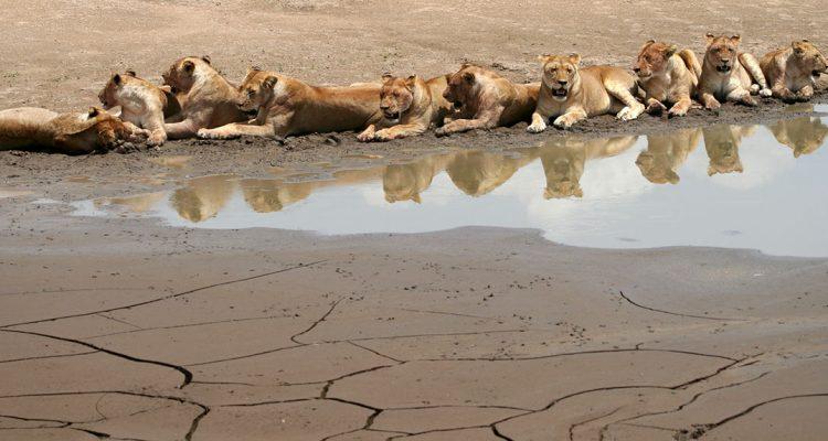 lionnes voyage tanzanie