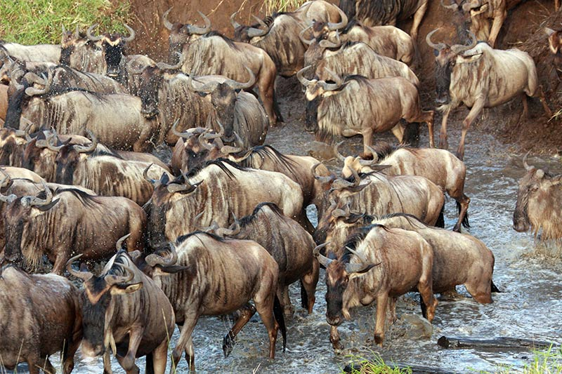 Migration des gnous Masaï Mara
