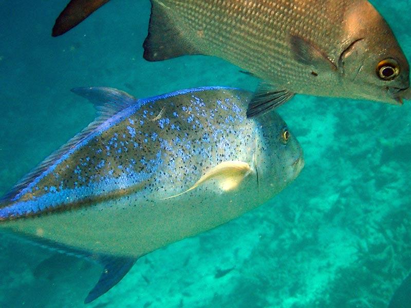 carangue points bleus Maldives