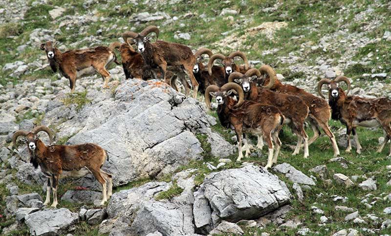 chalets de Clapeyto queyras mouflons